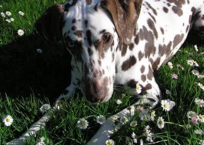Fila in Gänseblümchen